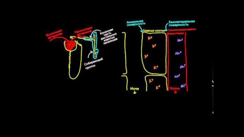 Альдостерон повышает кровяное давление и понижает калий fkmljcnthjy gjdsiftn rhjdzyjt lfdktybt b gjybftn rfkbq