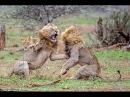 Необычное поведение животных — Жизнь на воле Nat Geo Wild HD