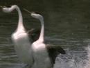 BBC Жизнь птиц Поиск партнера 7 серия