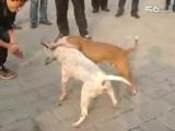 собачьи бои стаффорд против бультерьера
