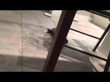 Дрессированный хорек играет с тарелкой funny ferret Roxy