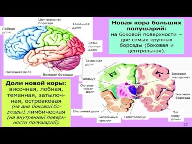 Дубынин Вячеслав - Мозг: общие принципы. Центры потребностей
