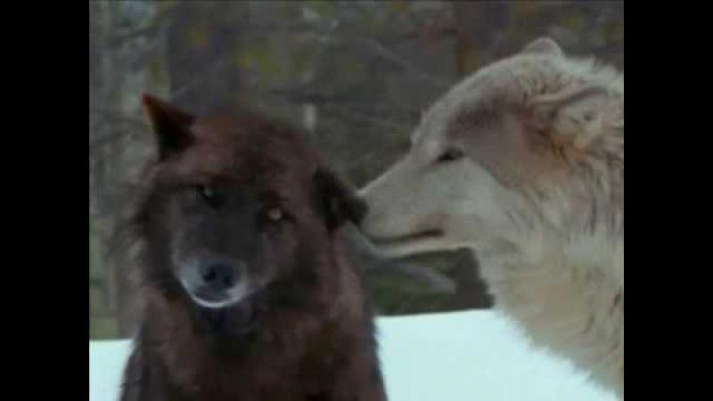 Wolf Native American ~ Sacred Spirit ~ Yeha Noha