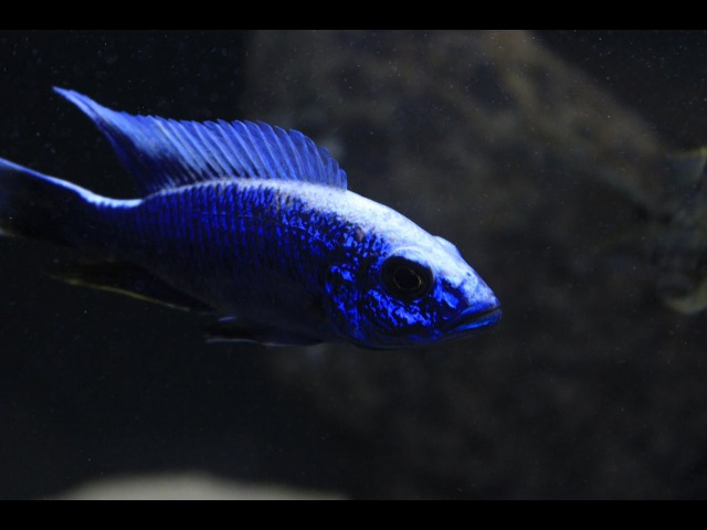 Sciaenochromis Fryeri- The Electric Blue Hap 1080 HD