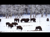 Зубр. Выпуск в дикую природу. The output of European bison into the wild.