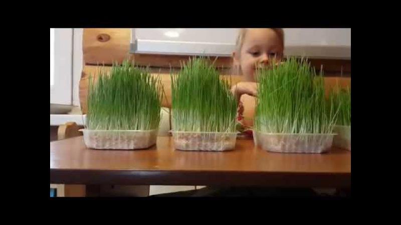 Результат Выращивание зелени на подоконнике. Сравнение. Вода и Почвенный раствор