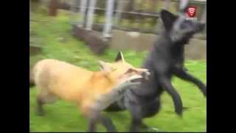 Телеканал ВІТА новини 2015-10-21 На подвір'ї вінничанки бігають лисиці - ручні