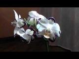 Семена орхидей. Выращивание Орхидей Фаленопсис из своих семян  дома. Часть 1