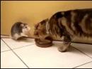 Лучшие приколы Смешно делят одну миску с едой кот и мышь