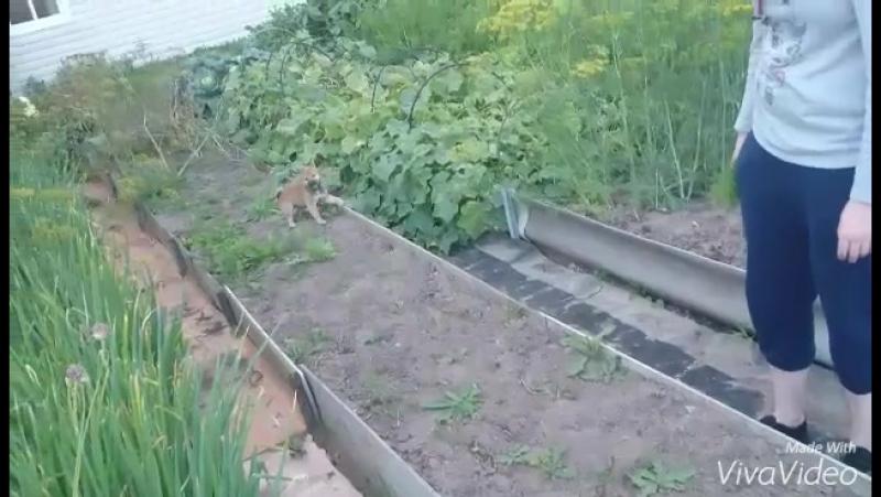 Щенок Сиба-ину