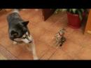 Хаски пытается наладить контакт с котом повторяя его движения.
