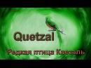 Редкая птица Квезаль Quetzal
