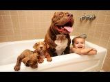 Giant Pit Bull Hulk's $500,000 Puppy Litter DOG DYNASTY