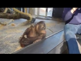 Обезьяна смеется с фокуса в зоопарке
