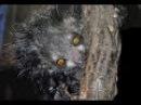 Ай ай, или руконожка мадагаскарская (лат. Daubentonia madagascariensis)