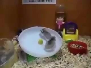 Два хомяка и одно колесо
