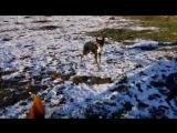 Рабочие собаки бордер колли загоняет скот 2