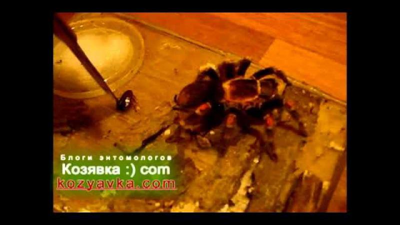 Раздразнили, а потом испугали паука-птицееда