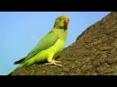 BBC2 The Great British Parakeet Invasion