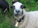 овца кричит человеческим голосом !! funny crazy sheep !
