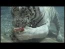 Белый тигр-водолаз