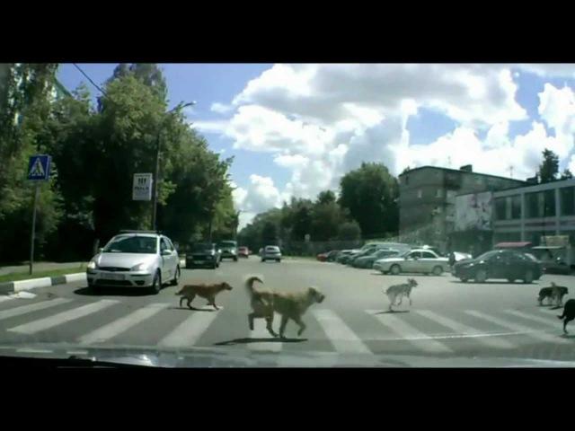 Животные-пешеходы иногда умнее людей! / Animals-pedestrians
