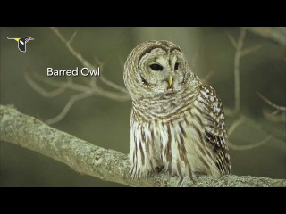 Крик совы - The Distinctive Calls of Owls: A Sampler