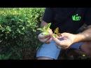 Уишань, плантация новых видов уишаньских улунов