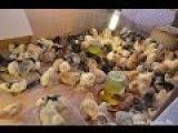 Цыплята кур разных пород: Орпингтон, Брама, Кохинхин. Хозяйство Гуковские куры