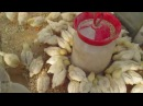 Правильное питание и содержание цыплят.Часть II.
