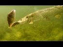 Рыбалка щука атакует приманку мёртвую рыбку под водой, плотва или окунь. Полное видео.