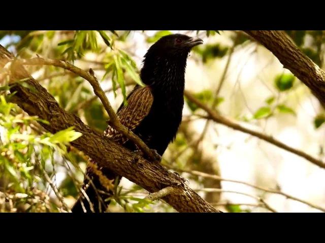 Pheasant coucal / Фазанья шпорцевая кукушка / Centropus phasianinus