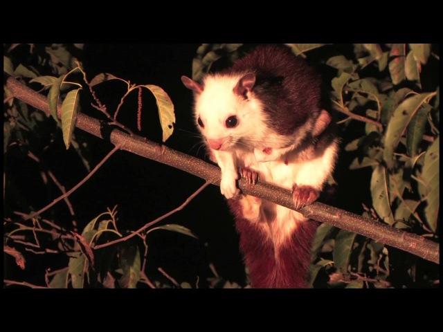Red and white giant flying squirrel / Бело-рыжая летяга / Petaurista alborufus