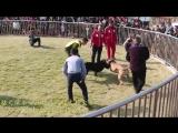 Собачьи бои Турнир в Китае 2015