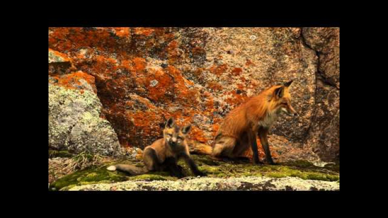 6 Red Fox Kits HD