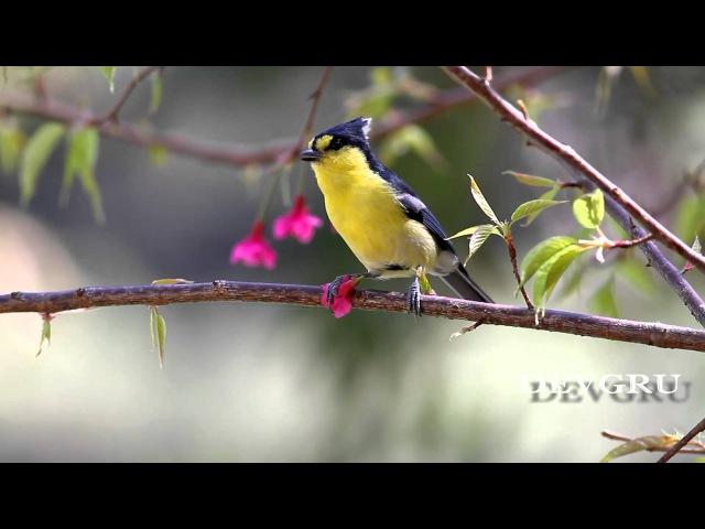 Тайваньская жёлтая синица Yellow Tit Parus holsti