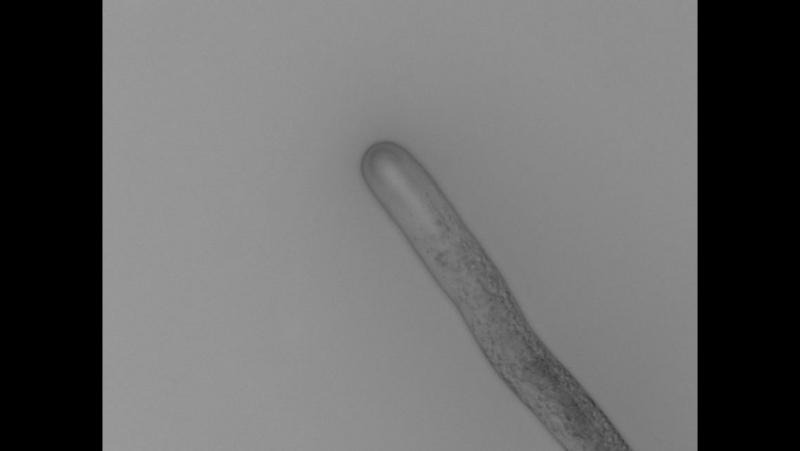 Рост пыльцевой трубки лилии