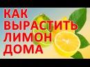 Как вырастить лимон в домашних условиях Как вырастить лимон дома