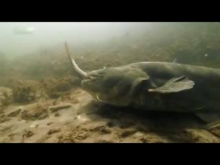 Сом убийца на охоте , подводные съемки.