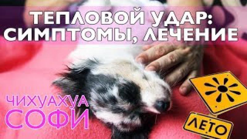 Тепловой удар у собаки летом: симптомы и лечение | Чихуахуа Софи