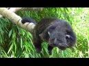 Sleepy Rare Binturong Bearcat