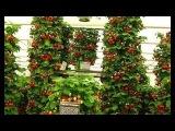 Вертикальный способ выращивания клубники. Выращивания клубники.