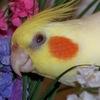 Попугай Корелла (Нимфа) — www.korella.org