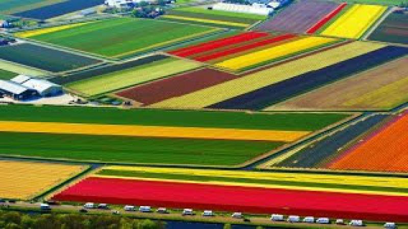В Голландии зацвели тюльпаны (новости)