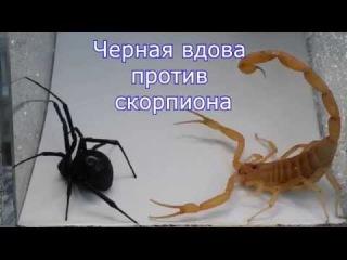 Скорпион против паука черная вдова   Black Widow vs Scorpion