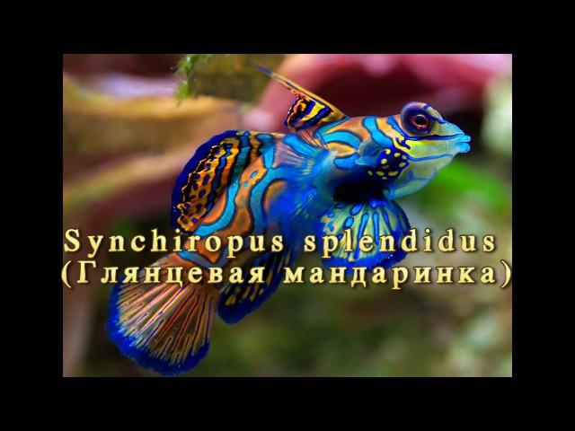 Покупка и содержание глянцевой Мандаринки Synchiropus splendidus