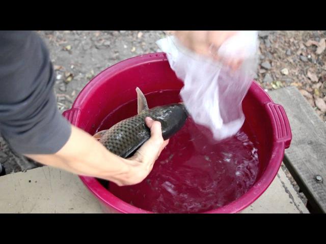 Выращивание карпа в маленьком пруду возле дома, эксперимент.