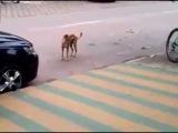Бразильская собака танцует под музыку