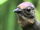РЖАЧ НЕРЕАЛЬНЫЙ Птица Лира которая имитирует все звуки которые когда либо слышала вплоть до звук затвора фотокамеры автомоб