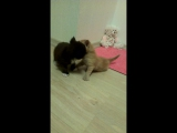 Котята Мейн-кун в возрасте 3-х недель.